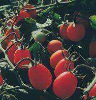 Sweet Olive (F1) Tomato