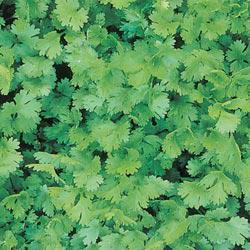 Coriander/Cilantro Herb