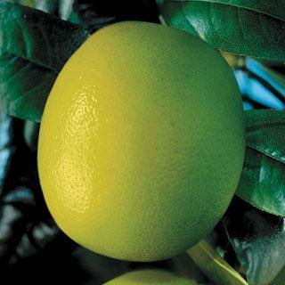 Key Lime Limequat Citrus Limequat Tree