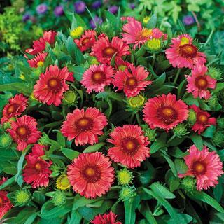 Blanket Flower 'Arizona Red Shades'