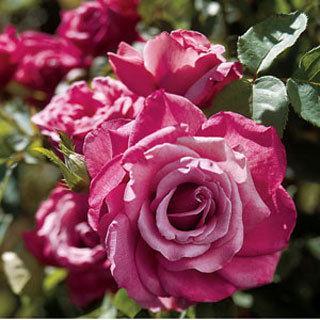 Heirloom Lavender-lilac Hybrid Tea Rose
