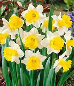SOLD OUT Goblet Trumpet Daffodil - 10 bulbs