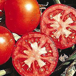Early Girl (VFF) Hybrid Tomato