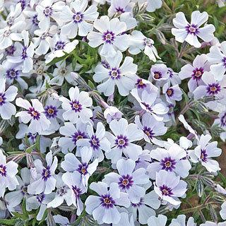 North Hills Phlox subulata Creeping Phlox plant