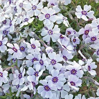 North Hills Phlox subulata Creeping Phlox plant