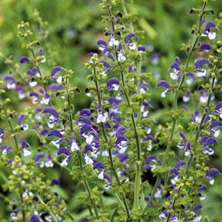 Madeline Salvia Sage Plant