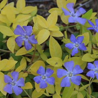 24 Karat Vinca Minor Periwinkle Plant