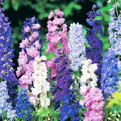 Delphinium h.'Pacific Giants Mixed'