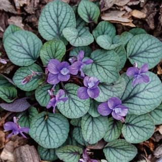 Silver Gem Appalachian Blue Violet