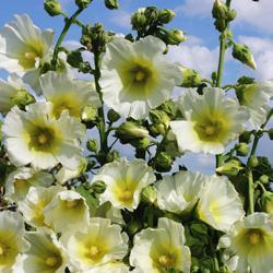 Hollyhock rosea 'Halo White'