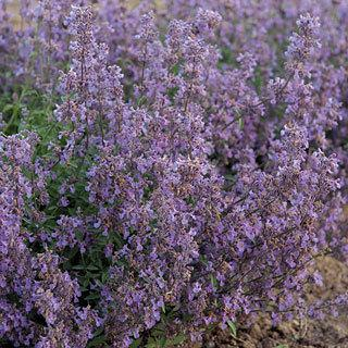 Little Trudy® Nepeta Catmint Plant