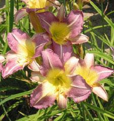 Blue Sheen Daylily - 5 root divisions