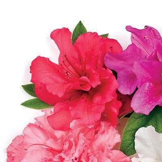 Bloom-a-Thon® Red Azalea Shrub