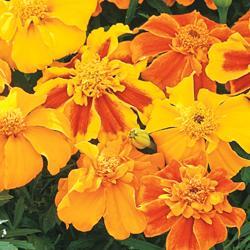 Marigold patula erecta 'Sunburst Mixed' F1 Hybrid