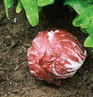 Chioggia Red Preco No. 1