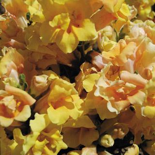 Snapdragon Twinny Yellow Shades