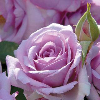 Enchanted Evening Lavender Floribunda Rose