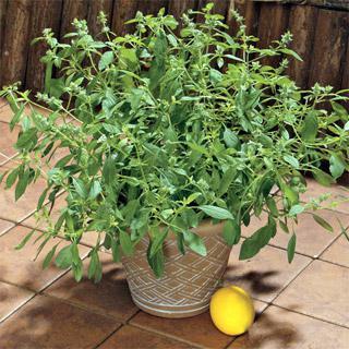 Organic Basil Lemon