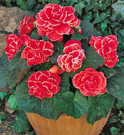 Red Picotee Lace Begonia - 3 tubers