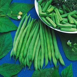 Bush Bean Organic Bean Modus
