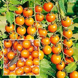 Tomato - Sungold F1 Hybrid (Indeterminate)