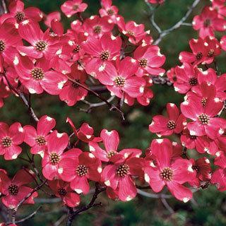 Cherokee Brave Cornus Dogwood Tree