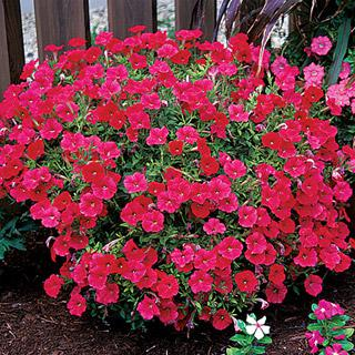 Petunia Red Easy Wave® Hybrid