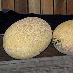 Antoinette Hybrid Melon