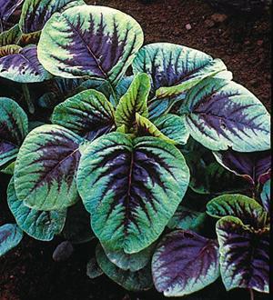 Amaranth, Red Leaf, Tampala, Calaloo