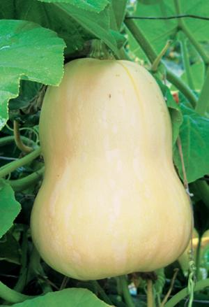 Squash, Butternut, Winter, Organic
