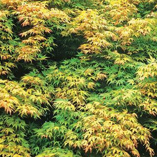 Acer Katsura Japanese Maple Tree