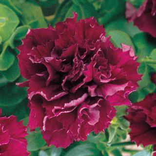 Petunia Double Cascade Burgundy Hybrid