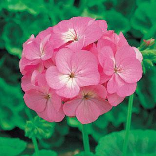 Geranium Elite Pink Hybrid