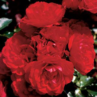 Trumpeter 36-inch Patio Tree Rose
