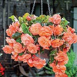 Hanging Basket Begonia Apricot Joy