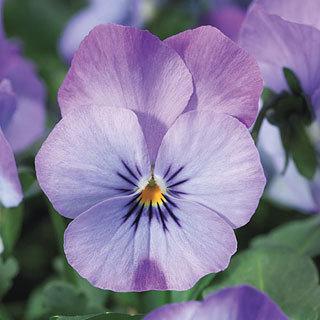 Viola Endurio™ Sky Blue Martien