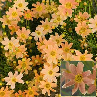 Sienna Sunset Coreopsis verticillata Threadleaf Plant