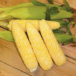 Sweet Corn Mirai Bicolor M302 F1 Hybrid
