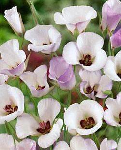 SOLD OUT Symphony Calochortus - 10 bulbs
