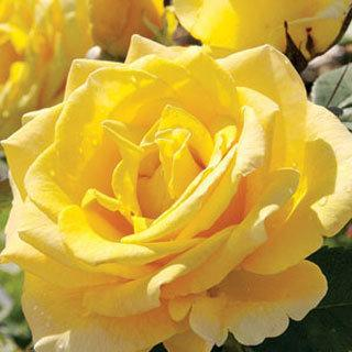 Welcome Home Light Yellow Hybrid Tea Rose