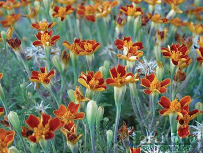 Marigold-Red Gem