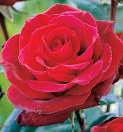 Arctic Flame Sub-Zero Brownell Rose - 1 bare root plant