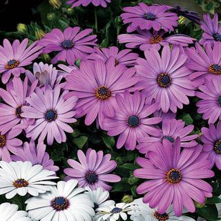 Osteospermum Asti™ Lavender Shades