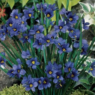 Lucerne Sisyrinchium Blue-Eyed Grass Plant