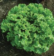 Green Star (Pelleted) Leaf Lettuce