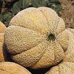 Superstar Hybrid Cantaloupe
