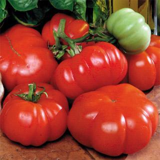 Costoluto Genovese Tomato Plant