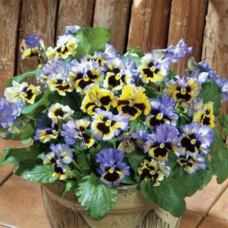 Pansy 'Flirty Skirts Blue'