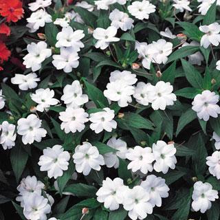 Impatiens White SunPatiens® Annual Plant
