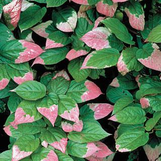 Pasha Actinidia kolomikta Kiwi Vine Plant